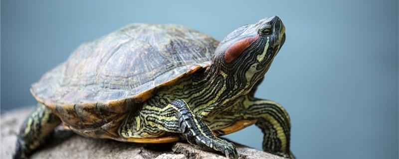 巴西红耳龟好养吗,怎么养才养得更快