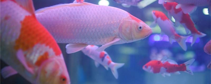 鱼缸的鱼聚堆是病了吗,鱼聚堆怎么办