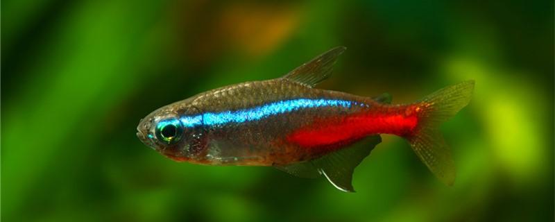 用红绿灯鱼要用多大的缸,30的缸能养多少红绿灯鱼