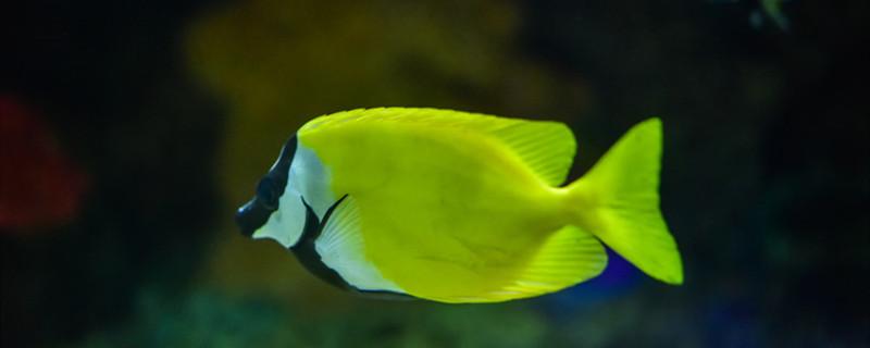 公鱼一直追着怀孕母鱼是怎么回事,公鱼和母鱼怎样配对