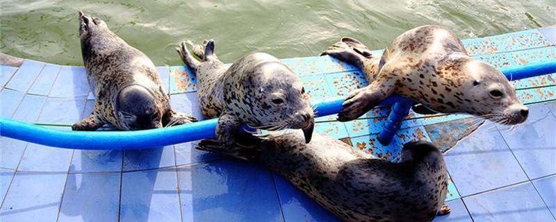 海豹喜欢拍肚皮吗,为什么喜欢拍肚皮