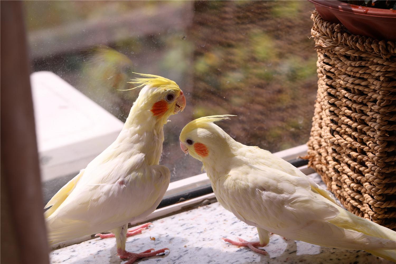 玄凤鹦鹉多少度过冬