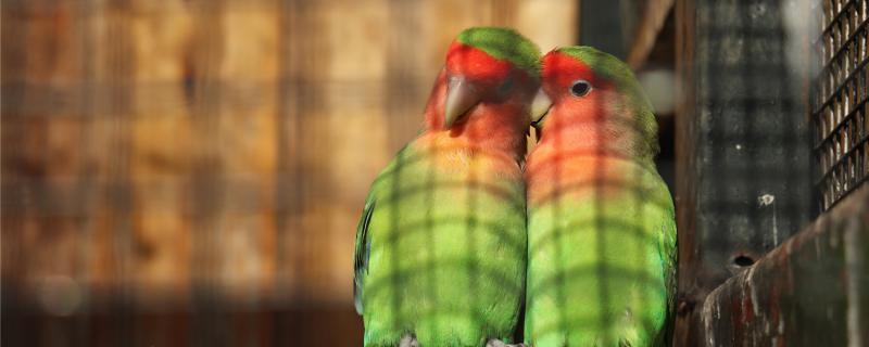 牡丹鹦鹉可以吃甘蔗吗