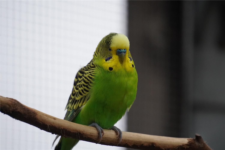 鹦鹉蛋怎么人工孵化
