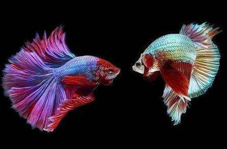 泰国斗鱼多少钱一条?斗鱼可以和其他鱼一起养吗?