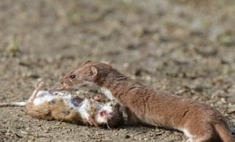 黄鼠狼为什么不能打不能杀有科学解释吗,它迷人心智怎么回事?
