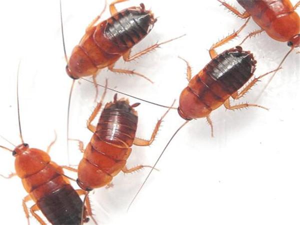 蟑螂是如何进入家里的通过什么途径?该如何对付小蟑螂?