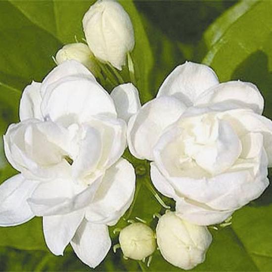 茉莉花都有什么样的颜色?茉莉花有几种颜色?