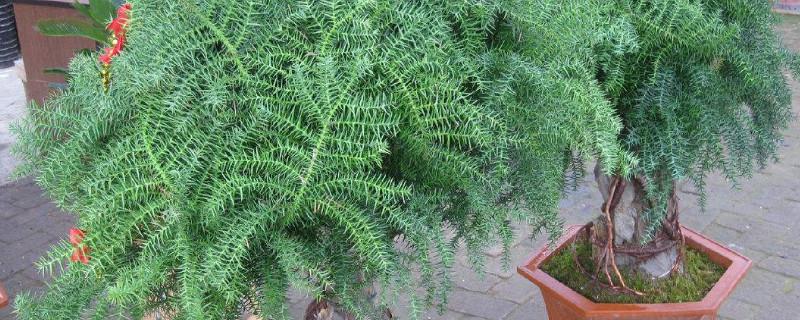 澳洲杉树盆景适合家养吗?澳洲杉树能在家养吗?