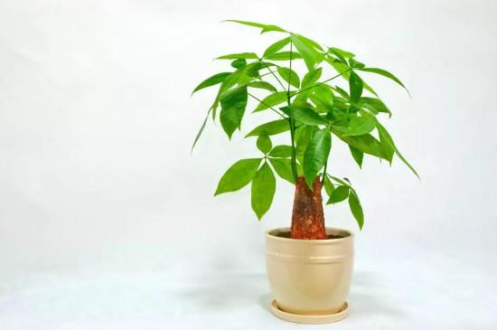发财树浇太多树根腐烂怎么办?怎么处理救治?