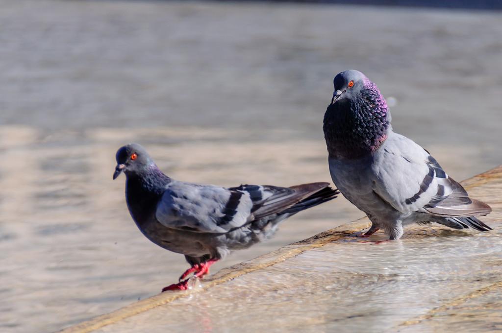 两只公鸽在一起时表现