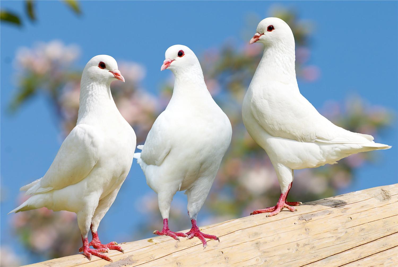 鸽子不家飞怎么回事
