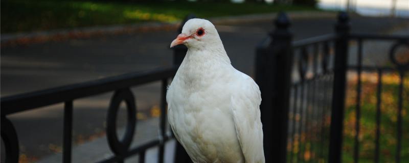 鸽子多久下第二窝蛋