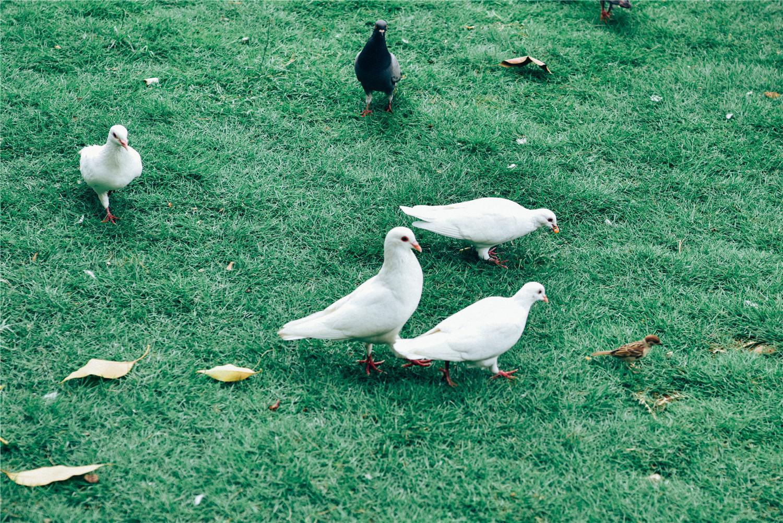 鸽子多少天下蛋