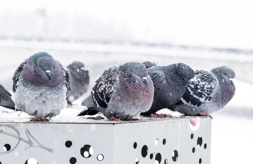 鸽舍冬天要封起来吗