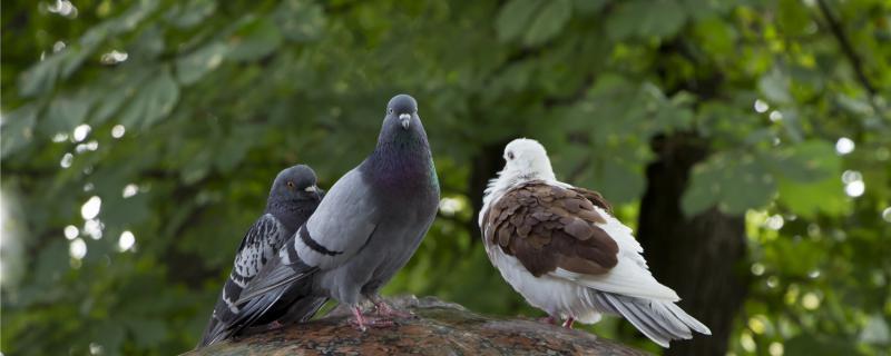 母鸽子给公鸽子踩蛋怎么回事