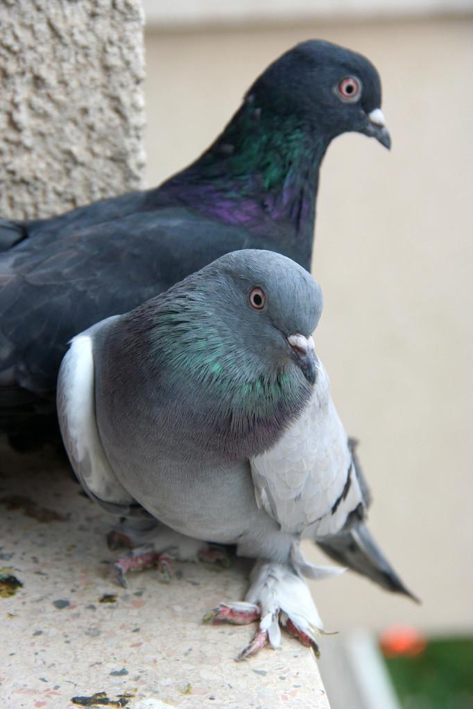 鸽子洗澡用热水还是冷水