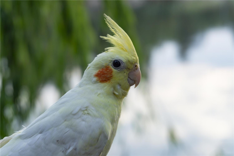 玄凤鹦鹉几个月下蛋
