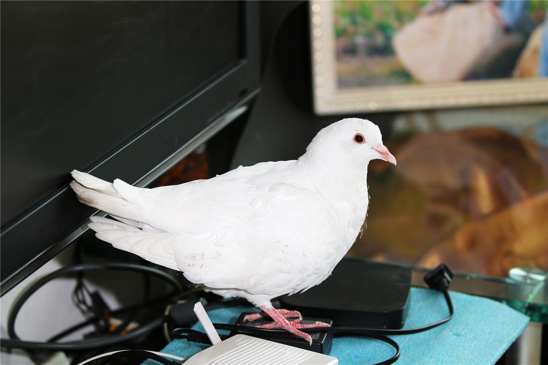 鸽子不孵蛋有什么原因