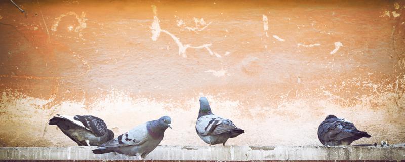鸽子差不多生蛋时能换窝吗
