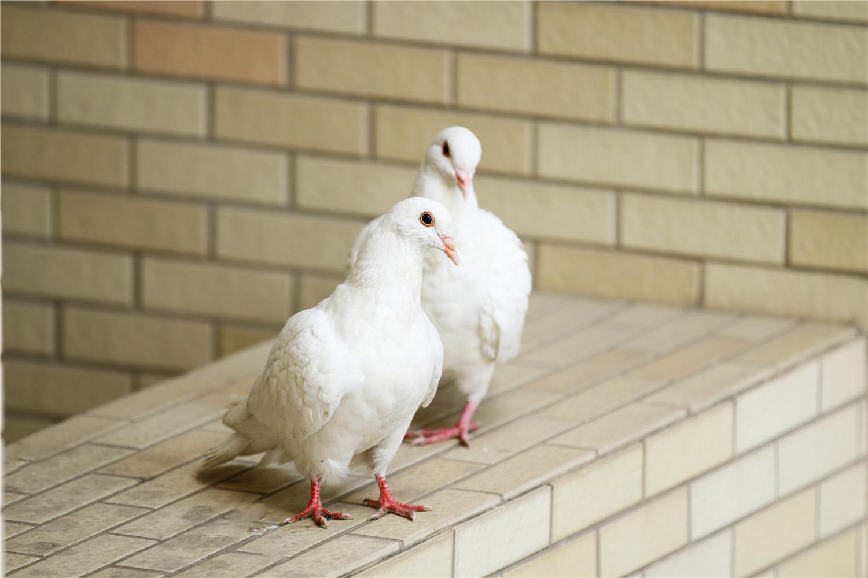 拿走鸽子蛋鸽子生气吗