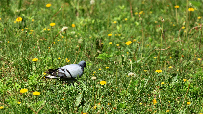 小鸽子多少天可以自己进食