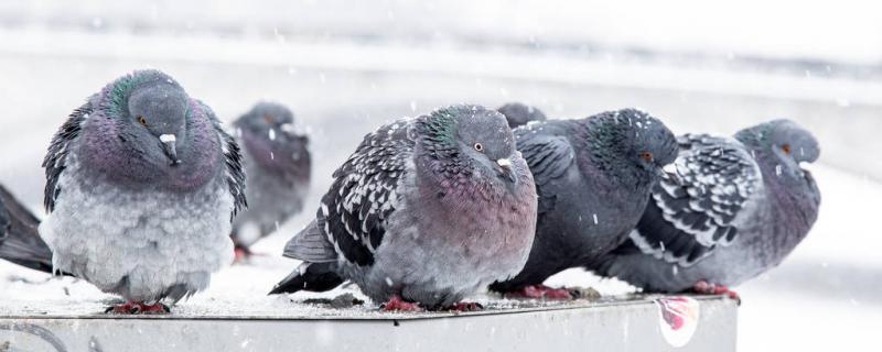 冬季鸽舍怎么保暖还通风