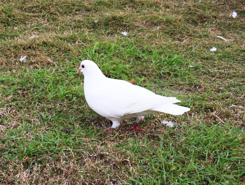 鸽子一天需要晒多久太阳