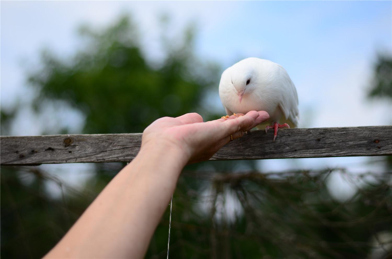 在家如何养鸽子