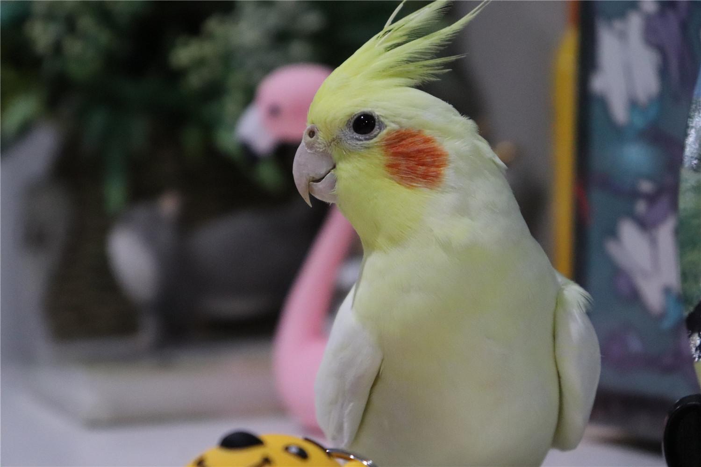 玄凤鹦鹉几个月算是成鸟