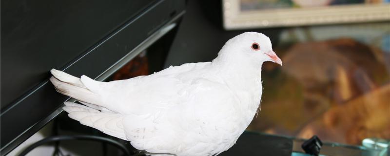 一只成年鸽子一天吃多少粮食