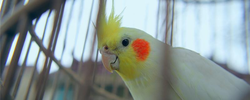 刚买的玄凤鹦鹉怕人怎么办