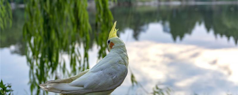 玄凤鹦鹉断奶怎样换食