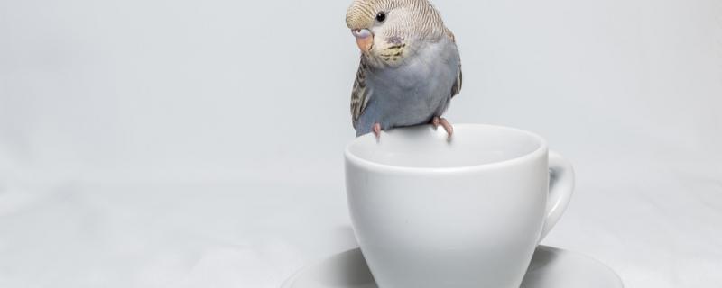 鹦鹉蛋里有叫声到破壳多久