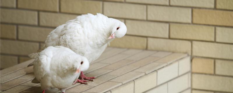 二个小鸽子出壳隔几天
