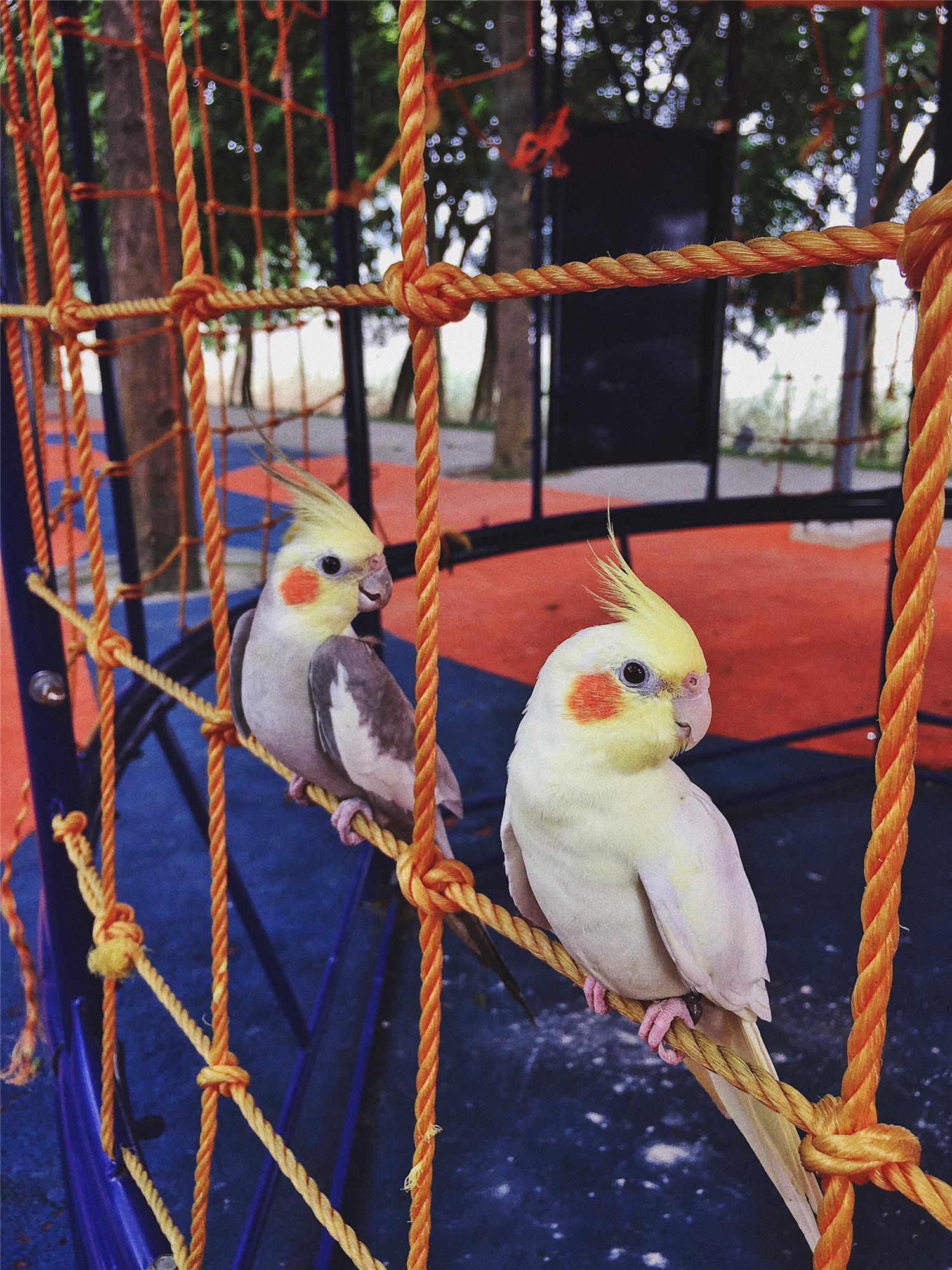 玄凤鹦鹉嗉囊怎么揉