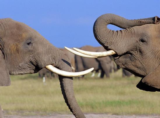 野象群为什么不向南走?大象会不会咬人?