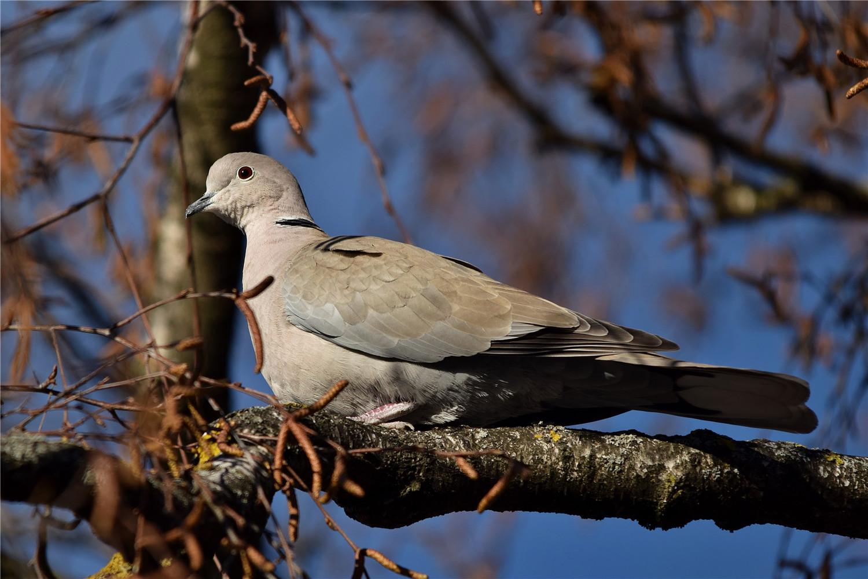 鸽子多久繁殖一窝