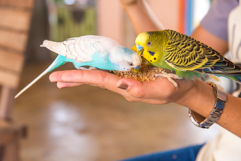 手养鹦鹉怎么喂养