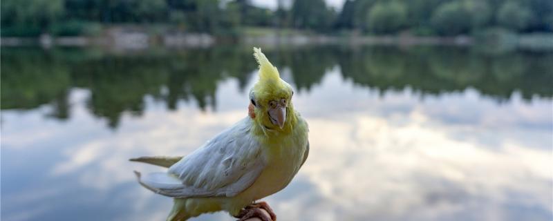什么鹦鹉可以合法饲养