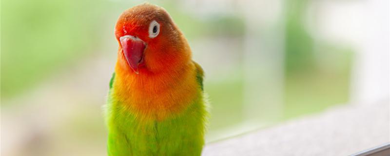 鹦鹉黄桃的智商多高