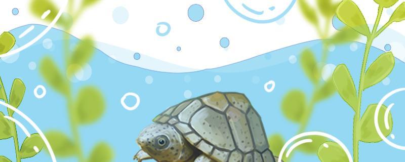 剃刀龟是蛋龟吗,蛋龟有哪些品种