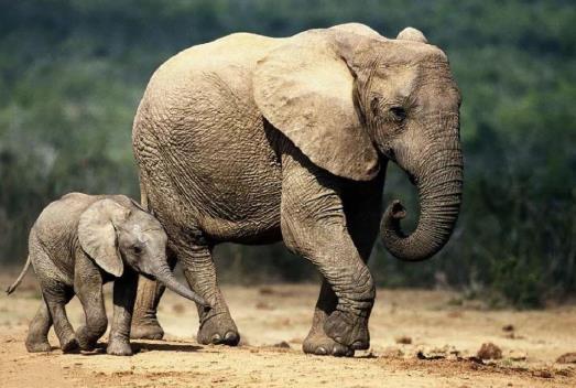 云南小象醉酒掉队为什么象群不管它?云南大象北迁是怎么生活的?