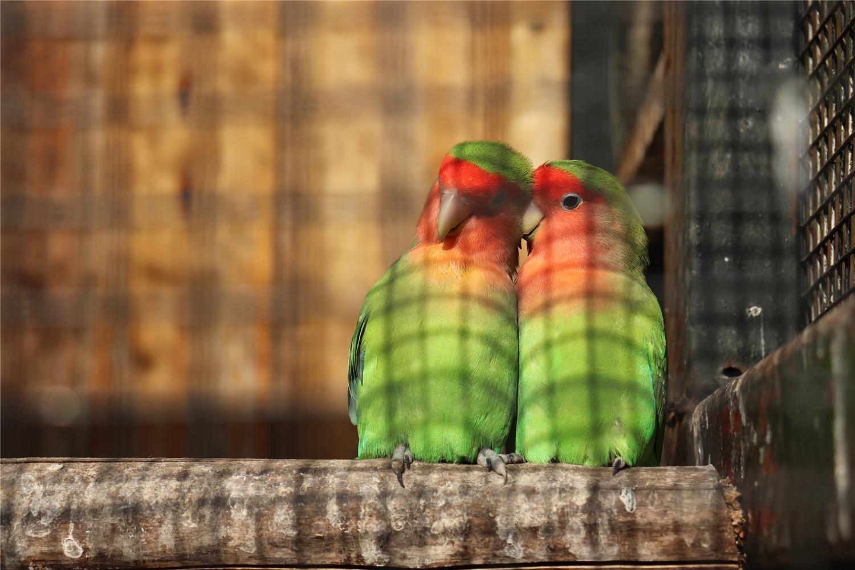 牡丹鹦鹉孵蛋多久出小鸟