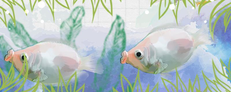 接吻鱼是热带鱼吗,需要打氧吗