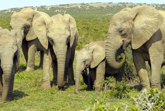 云南大象迁徙是说明未来天气越来越热吗?有什么办法阻止大象北迁吗