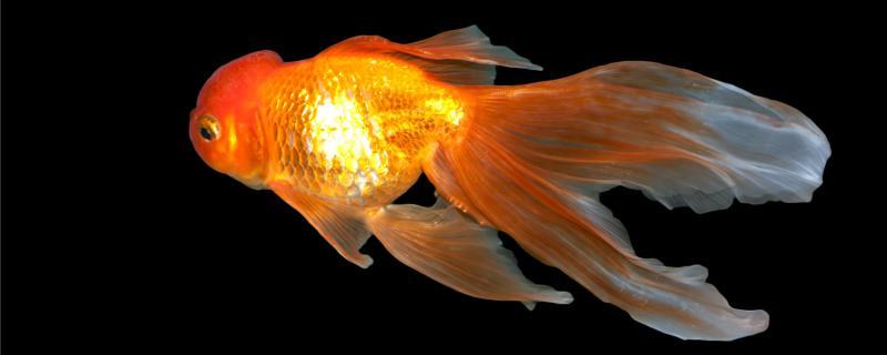 金鱼水深多少最好,多长时间换一次水