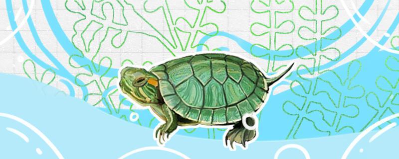 巴西龟要放多少水合适,水温怎么调节