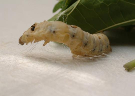 蚕宝宝变成飞蛾后如何养?蚕受伤了流绿水还能活吗?