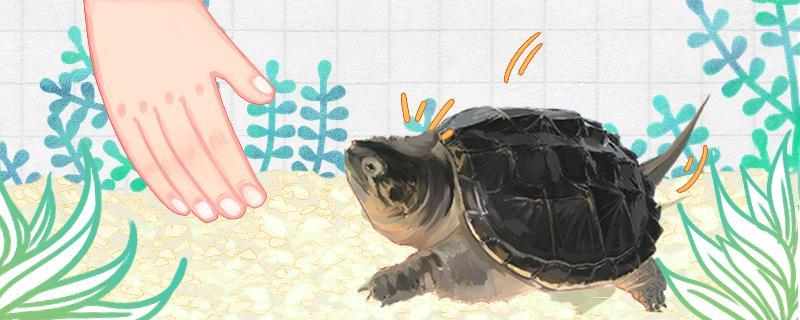 鳄龟能养熟吗,怎么拉近与它们的关系